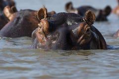 Eine Hülse des Flusspferds bei Sonnenuntergang Lizenzfreies Stockfoto