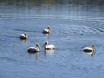 Eine Hülse von Pelikanen Lizenzfreies Stockbild