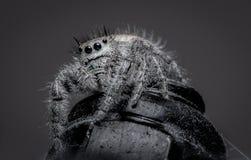 Eine haarige springende Spinne, die auf einer Metallnuß sitzt Stockfotografie