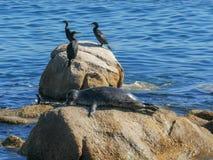 Eine Hafendichtung klettert auf ein haulout, um sich in Monterey, Kalifornien zu sonnen lizenzfreies stockfoto