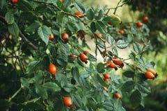 Eine Hagebutte mit orange Früchten Lizenzfreies Stockfoto