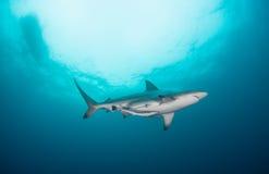 Eine Haifischschwimmen obenliegend in einem blauen Ozean lizenzfreie stockfotos