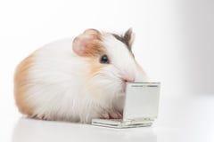 Eine Hamsternahaufnahme auf Weiß Stockfotos