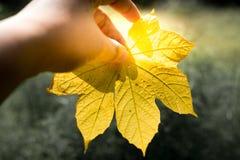 Eine Hand, die ein gelbes Blatt mit grünem Hintergrund, Gelb des Blattes in der Herbstsaison hält stockbild