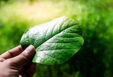 Eine Hand, die ein grünes Blatt mit grünem Feldhintergrund hält stockfotografie