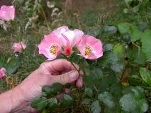 Eine Hand, die rosa Rose Blossoms hält Lizenzfreie Stockfotografie
