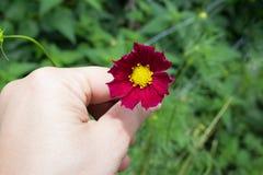 Eine Hand mit hellem rotem Kosmos blüht mit acht Blumenblättern und einer gelben Mitte auf einem Stamm in voller Blüte im Sommer  Stockbild