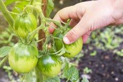 Eine Hand reißt eine grüne Tomate auseinander Gesunde Nahrung Biologisches Lebensmittel lizenzfreie stockbilder