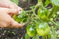 Eine Hand reißt eine grüne Tomate auseinander Gesunde Nahrung Biologisches Lebensmittel stockfoto