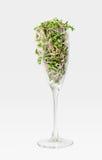 Eine Handvoll des Rettichs keimt im Champagnerglas Stockbilder