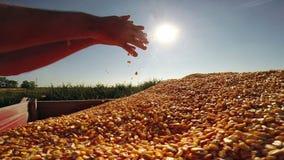 Eine Handvoll goldene Mais-Körner stock video