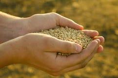 Eine Handvoll Körner des Weizens in den Händen Stockbild