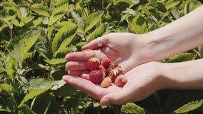 Eine Handvoll reife Erdbeeren in den Händen eines Mädchens auf einem Biohof stock video