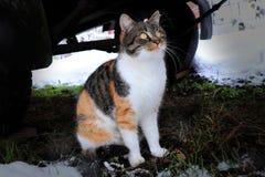Eine Hauskatze, die unter Wagen sitzt und auf den Schneeflocken die unten fallen schaut Tricolour Katze Brown, Schwarzweiss lizenzfreie stockfotos