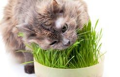 Eine Haustierkatze, die frisches Gras isst Lizenzfreie Stockfotos