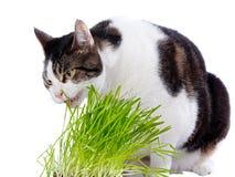 Eine Haustierkatze genießt frisches Gras. Lizenzfreies Stockfoto
