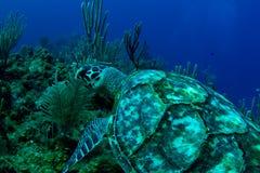 Eine hawksbill Schildkröte in Roatan, Honduras Lizenzfreie Stockfotos