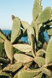 Eine Hecke des grünen Kaktus lizenzfreie stockfotos