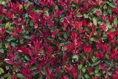Eine Hecke von roten Blumen Nahtloser Hintergrund stockfotos