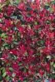 Eine Hecke von roten Blumen Nahtloser Hintergrund lizenzfreie stockfotografie
