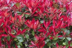 Eine Hecke von roten Blumen Nahtloser Hintergrund stockfotografie