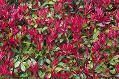 Eine Hecke von roten Blumen Nahtloser Hintergrund lizenzfreies stockbild