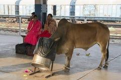 Eine heilige Kuh, die aus dem Behälter heraus isst stockfotos