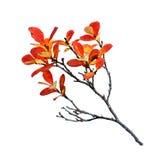 Heidelbeerblätter im Herbst stockbilder