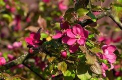 Eine helle Niederlassung des Apfels mit Blumen Stockfoto