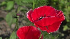 Eine helle rote Mohnblume, zieht Bienen an Attraktive, helle, rote Farbe stock video footage