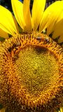 Eine helle, schöne Sonnenblume mit den italienischen Honigbienen, die Blütenstaub für ihren Bienenstock erfassen Lizenzfreies Stockfoto