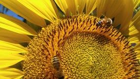 Eine helle, schöne Sonnenblume mit der italienischen Honigbiene, die Blütenstaub für ihren Bienenstock erfasst Stockbilder