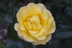 Eine helle zitronengelbe Rose lizenzfreies stockfoto