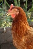 Eine Henne Lizenzfreie Stockfotos