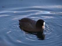 Eine Henne des Wassers im ruhigen Wasser von einem See lizenzfreie stockfotos