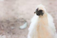 Eine Henne findet etwas Lebensmittel Stockfotos