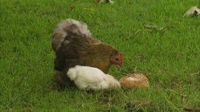 Eine Henne mit ihren Küken stock video footage