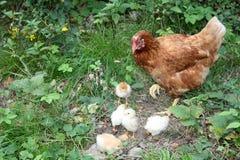 Eine Henne mit kleinen gelben Hühnern, Geflügelfamilie, natürliches unprofessionelles idyllisches Bild vom Freilandbauernhof Stockfotos