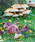Eine Herbstszene mit faulem Apfel, gefallenen Blättern und Pilzen Lizenzfreie Stockfotos
