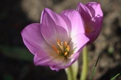 Eine Herbstwiesensafranblume lizenzfreie stockfotos