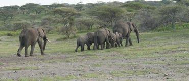 Eine Herde der Elefanten in einer Zeile Lizenzfreie Stockfotos