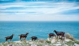 Eine Herde der Hausziege durchstreifend auf den Küstenklippen, die das Meer übersehen Stockbild