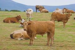Eine Herde der jungen Stiere stockfotos
