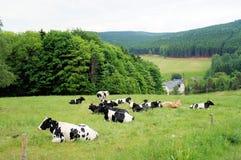 Eine Herde der Kühe Lizenzfreies Stockbild