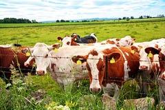 Eine Herde der Kühe auf den Gebieten, Abschluss oben Lizenzfreies Stockbild