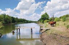 Eine Herde der Kühe nahe dem Teich Stockfotografie
