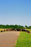 Eine Herde der Kühe und der Straße. Lizenzfreies Stockbild