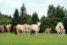 Eine Herde der Kuh weiden lassend auf üppiger grüner Wiese mit Kalb Lizenzfreies Stockfoto