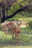 Eine Herde der männlichen Impala, Aepyceros melampus, stehend im veget Stockfoto