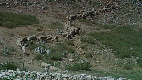 Eine Herde der Schafe stock footage